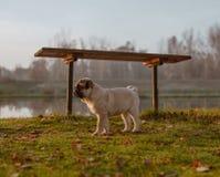 Uma posição bonito do pug do cachorrinho na grama, sob um banco perto de uma lagoa e está olhando para a frente imagens de stock