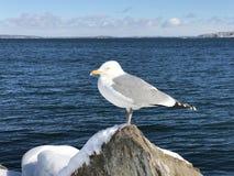 Uma posição da gaivota em uma rocha coberto de neve fotos de stock royalty free