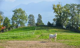 Uma posição do cavalo branco no monte da grama fotografia de stock