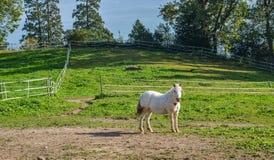 Uma posição do cavalo branco no monte da grama imagens de stock royalty free