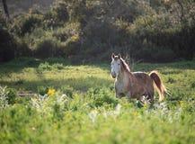 Uma posição do cavalo em um prado de florescência imagens de stock royalty free