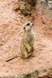 Uma posição do meerkat e olha para fora para o inimigo Imagens de Stock Royalty Free