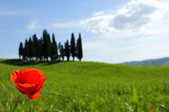Uma posição só da papoila de campo em um campo Tuscan foto de stock royalty free