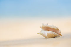 Uma praia com a concha do mar do truncata do lambis na areia P tropical Fotografia de Stock