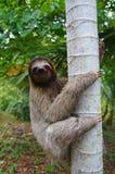 Uma preguiça três-toed que escala em uma árvore imagem de stock royalty free