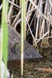 Uma rã verde, clamitans em um tronco de árvore do corte na água do pântano natural do cársico do Dragoman, vista dorsal de Rana fotos de stock royalty free