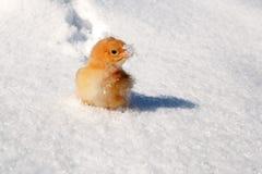 Uma raça de Hedemora da Suécia na neve, com uma galinha dias de idade fotos de stock