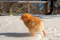 Uma raça de Hedemora da Suécia na neve, com uma galinha dias de idade fotografia de stock royalty free