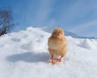 Uma raça de Hedemora da Suécia na neve, com uma galinha dias de idade fotografia de stock