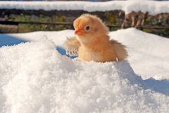 Uma raça de Hedemora da Suécia na neve, com uma galinha dias de idade imagem de stock royalty free
