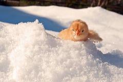 Uma raça de Hedemora da Suécia na neve, com uma galinha dias de idade imagens de stock