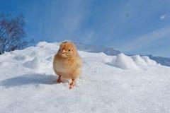 Uma raça de Hedemora da Suécia na neve, com uma galinha dias de idade imagens de stock royalty free