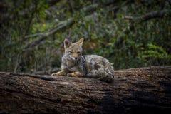 Uma raposa em Ushuaia, Patagonia Argentina imagem de stock royalty free