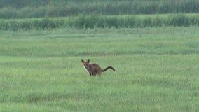 Uma raposa no amanhecer video estoque