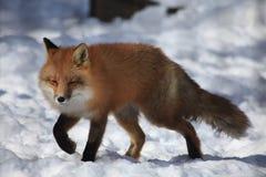 Uma raposa no jardim zoológico de Alaska imagens de stock royalty free