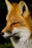 Retrato do Fox vermelho Fotos de Stock