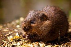 Uma ratazana de água em um banco Fotos de Stock