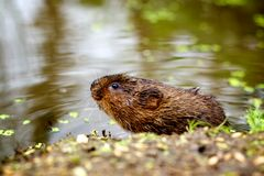 Uma ratazana de água em um banco Fotografia de Stock