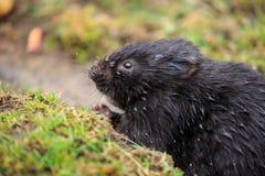 Uma ratazana de água europeia em um banco de rio foto de stock royalty free