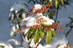 Uma refeição matinal de florescência sob a neve fotos de stock royalty free