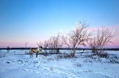 Uma rena que anda na neve em Lovozero, ao norte de Rússia foto de stock royalty free
