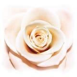Uma rosa é uma rosa Fotografia de Stock Royalty Free