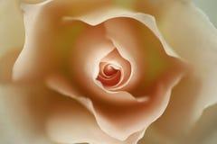 Uma rosa Imagens de Stock