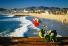 Uma rosa foto de stock