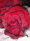 Uma rosa Imagem de Stock
