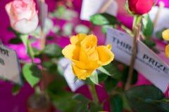Uma rosa amarela é uma planta de florescência constante arborizado do gênero Rosaceae da família de Rosa Arbustos com hastes e fo fotos de stock royalty free