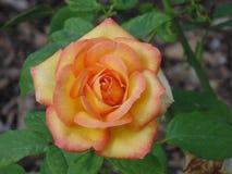 Uma Rosa amarela da amizade fotos de stock