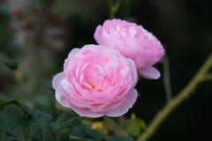 Uma rosa bonita do rosa em um jardim fotografia de stock