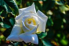 Uma Rosa branca na luz do sol Fotografia de Stock