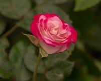 Uma rosa colorido bonita está pronta para florescer em um jardim fotografia de stock