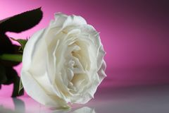 Uma rosa com as pétalas brancas com fundo cor-de-rosa Imagens de Stock Royalty Free