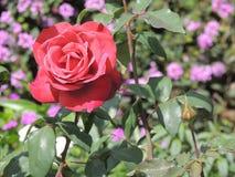 Uma rosa consideravelmente vermelha Foto de Stock