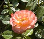 Uma Rosa cor-de-rosa Imagem de Stock