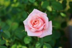 Uma Rosa cor-de-rosa Fotos de Stock Royalty Free