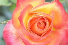 Uma rosa cor-de-rosa do amarelo Fotos de Stock Royalty Free
