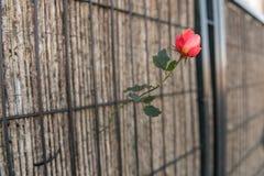 Uma rosa cresce através de um pano do rafiade em uma porta em uma área periférica de Caceres, Extremadura, Espanha imagens de stock royalty free