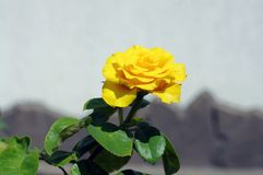 Uma rosa do amarelo com folhas verdes Fotografia de Stock Royalty Free