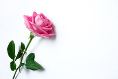 Uma rosa do rosa em um fundo branco Imagem de Stock Royalty Free