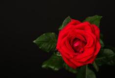 Uma rosa do vermelho no fundo preto Imagem de Stock