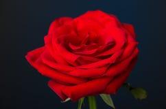 Uma rosa do vermelho no fundo preto Imagem de Stock Royalty Free