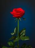 Uma rosa do vermelho no fundo preto Fotografia de Stock
