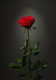 Uma rosa do vermelho no fundo preto Foto de Stock