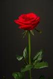 Uma rosa do vermelho no fundo preto Fotos de Stock