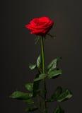 Uma rosa do vermelho no fundo preto Foto de Stock Royalty Free