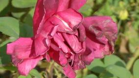 Uma Rosa fétido idosa e uma abelha video estoque