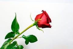 Uma rosa longa do vermelho da haste com folhas fotos de stock royalty free